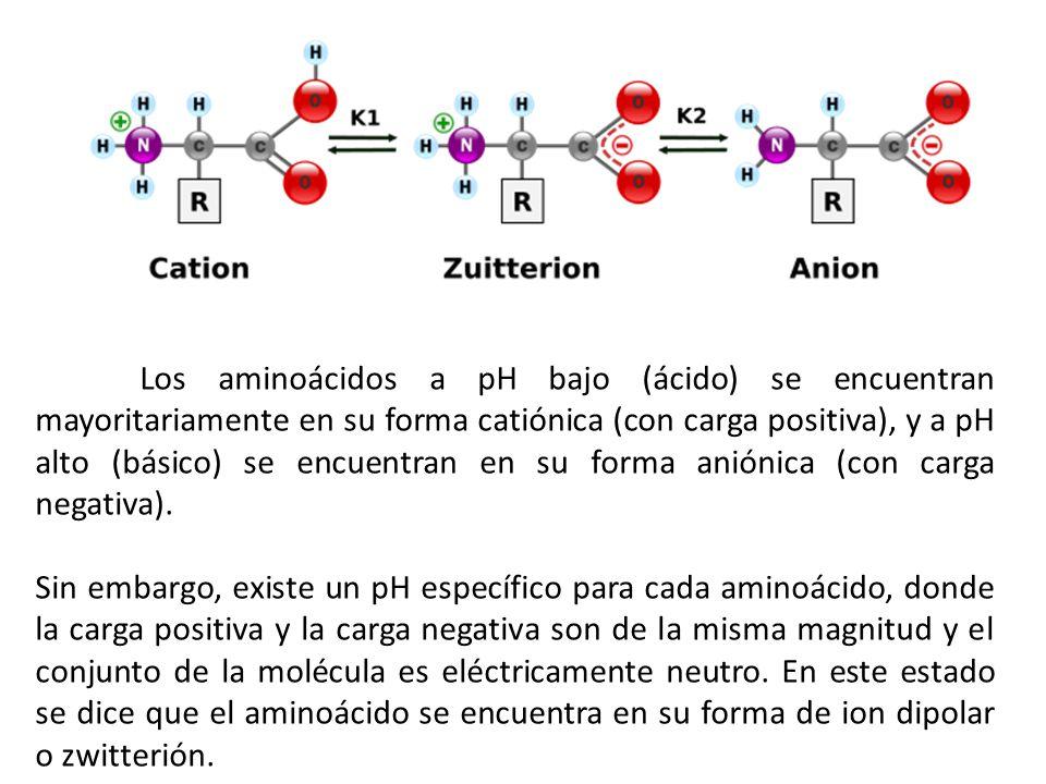Los aminoácidos a pH bajo (ácido) se encuentran mayoritariamente en su forma catiónica (con carga positiva), y a pH alto (básico) se encuentran en su