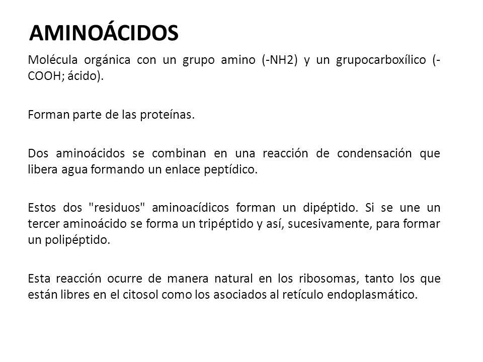 AMINOÁCIDOS Molécula orgánica con un grupo amino (-NH2) y un grupocarboxílico (- COOH; ácido). Forman parte de las proteínas. Dos aminoácidos se combi