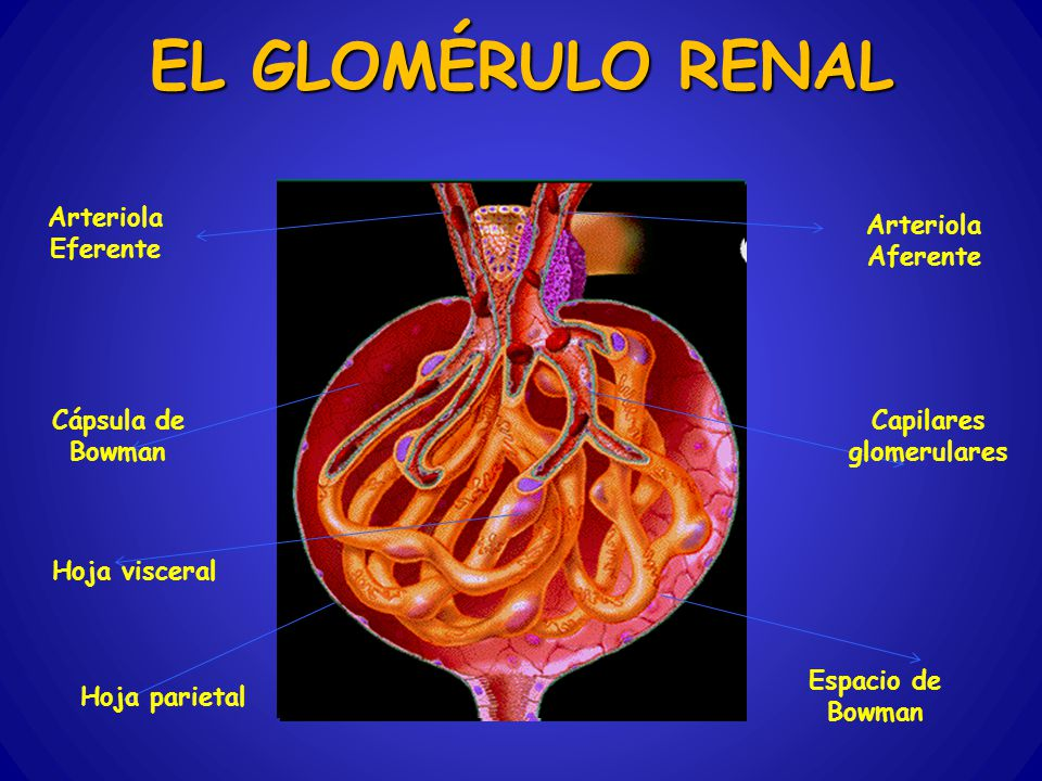 EL GLOMÉRULO RENAL Arteriola Eferente Arteriola Aferente Cápsula de Bowman Capilares glomerulares Hoja visceral Hoja parietal Espacio de Bowman
