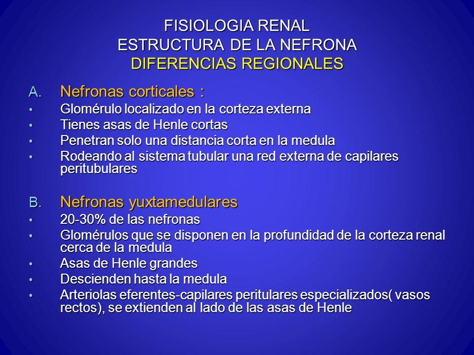 FISIOLOGIA RENAL ESTRUCTURA DE LA NEFRONA DIFERENCIAS REGIONALES A. Nefronas corticales : Glomérulo localizado en la corteza externa Glomérulo localiz