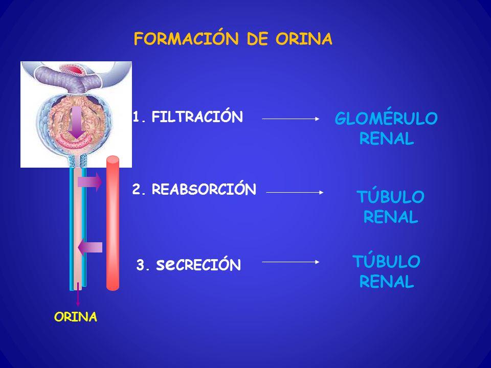 FORMACIÓN DE ORINA 1. FILTRACIÓN 2. REABSORCIÓN 3. se CRECIÓN ORINA GLOMÉRULO RENAL TÚBULO RENAL