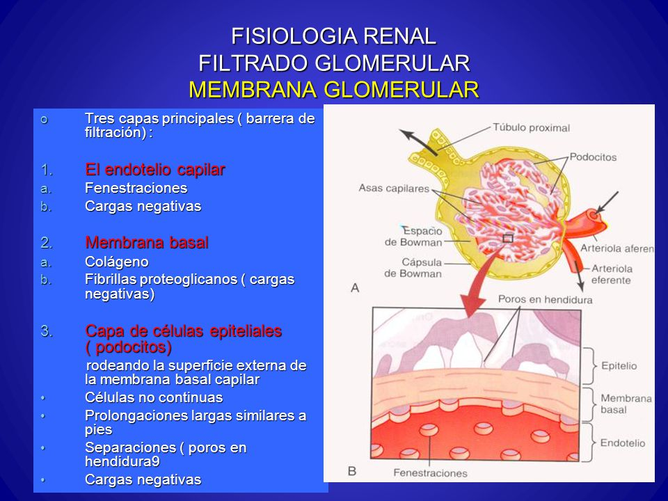 FISIOLOGIA RENAL FILTRADO GLOMERULAR MEMBRANA GLOMERULAR o Tres capas principales ( barrera de filtración) : 1. El endotelio capilar a. Fenestraciones