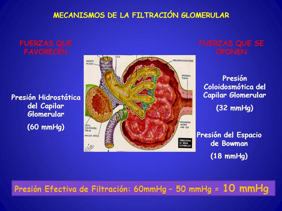 FUERZAS QUE FAVORECEN FUERZAS QUE SE OPONEN MECANISMOS DE LA FILTRACIÓN GLOMERULAR Presión Coloidosmótica del Capilar Glomerular (32 mmHg) Presión del