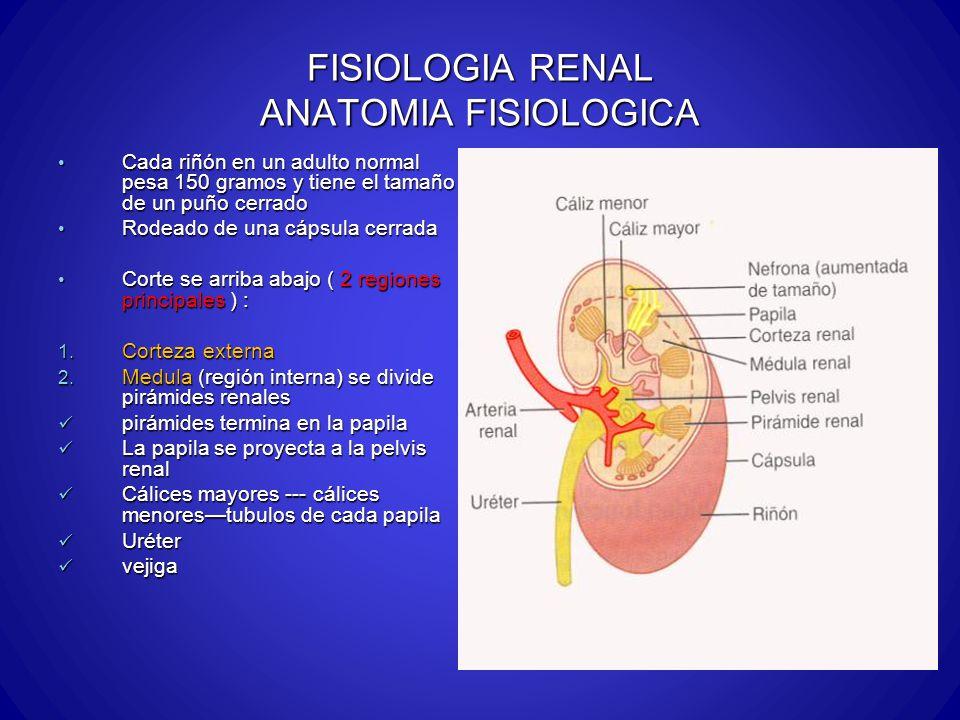 FISIOLOGIA RENAL ANATOMIA FISIOLOGICA Cada riñón en un adulto normal pesa 150 gramos y tiene el tamaño de un puño cerrado Cada riñón en un adulto norm