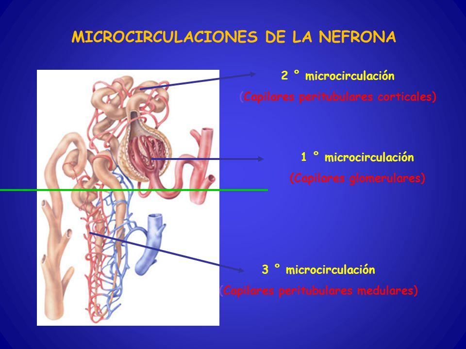 MICROCIRCULACIONES DE LA NEFRONA 1 ° microcirculación (Capilares glomerulares) 2 ° microcirculación (Capilares peritubulares corticales) 3 ° microcirc