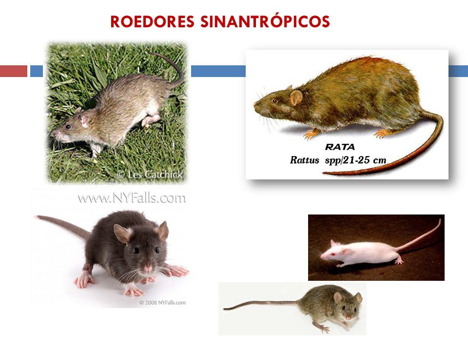 Mus musculus Rattus norvegicus ROEDORES SINANTRÓPICOS