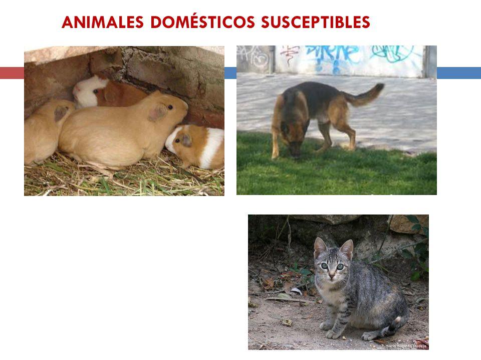 Cavia porcellus Canis familiaris Felis silvestris catus ANIMALES DOMÉSTICOS SUSCEPTIBLES
