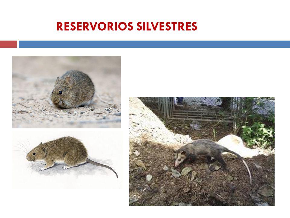 Didelphis spp Sigmodon spp RESERVORIOS SILVESTRES