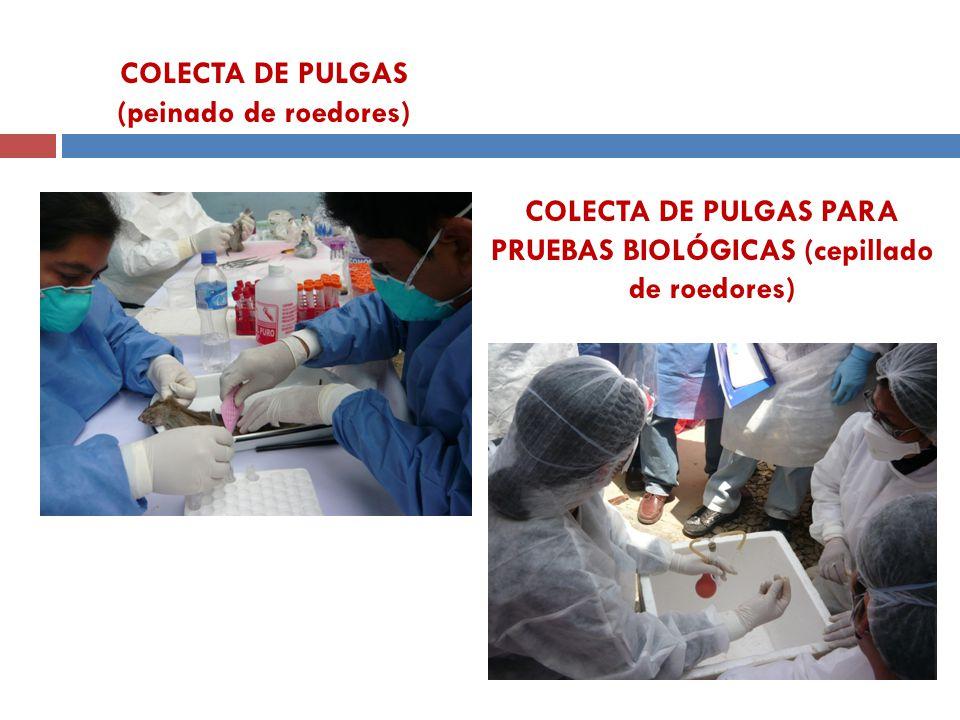 COLECTA DE PULGAS PARA PRUEBAS BIOLÓGICAS (cepillado de roedores) COLECTA DE PULGAS (peinado de roedores)