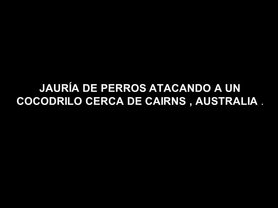 JAURÍA DE PERROS ATACANDO A UN COCODRILO CERCA DE CAIRNS, AUSTRALIA.