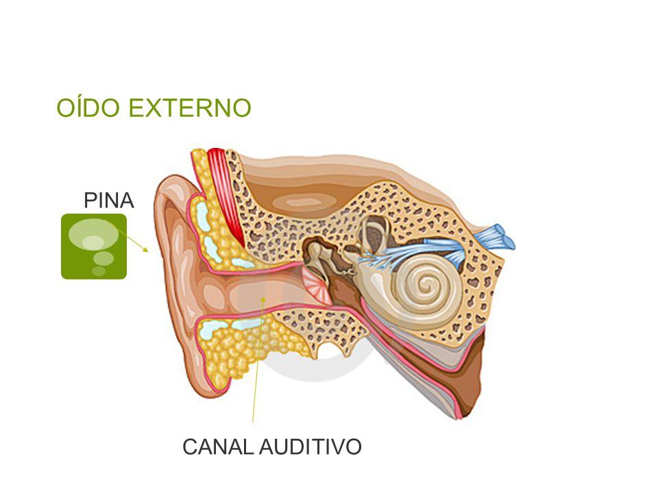 OÍDO EXTERNO PINA CANAL AUDITIVO