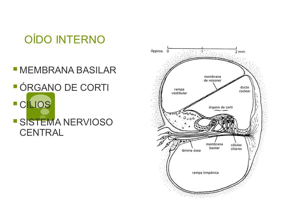 OÍDO INTERNO MEMBRANA BASILAR ÓRGANO DE CORTI CILIOS SISTEMA NERVIOSO CENTRAL
