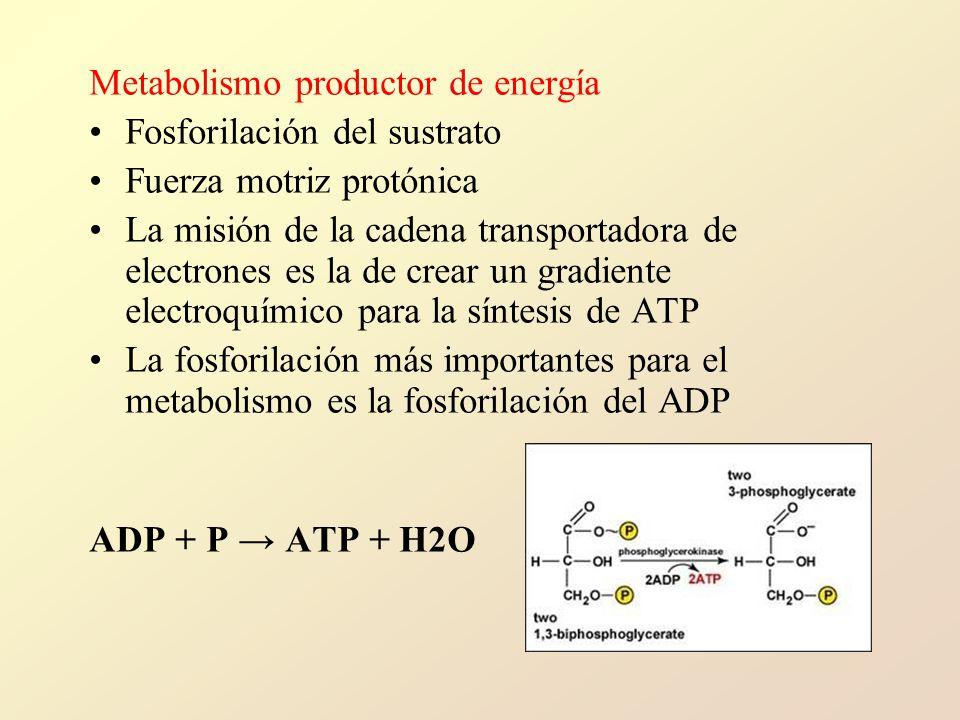 Metabolismo productor de energía Fosforilación del sustrato Fuerza motriz protónica La misión de la cadena transportadora de electrones es la de crear un gradiente electroquímico para la síntesis de ATP La fosforilación más importantes para el metabolismo es la fosforilación del ADP ADP + P ATP + H2O