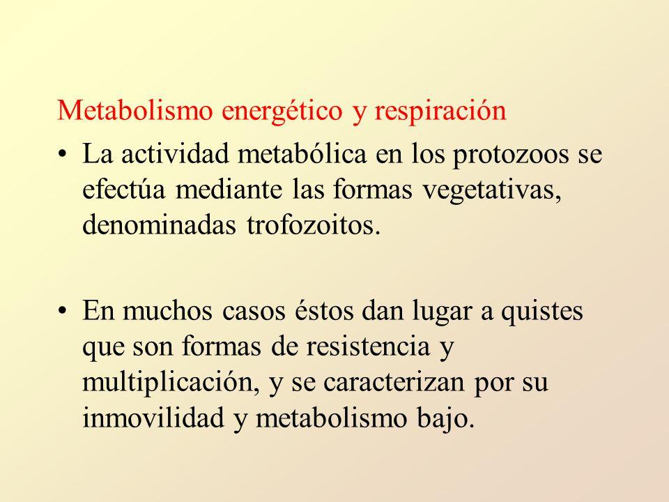 Metabolismo energético y respiración La actividad metabólica en los protozoos se efectúa mediante las formas vegetativas, denominadas trofozoitos.