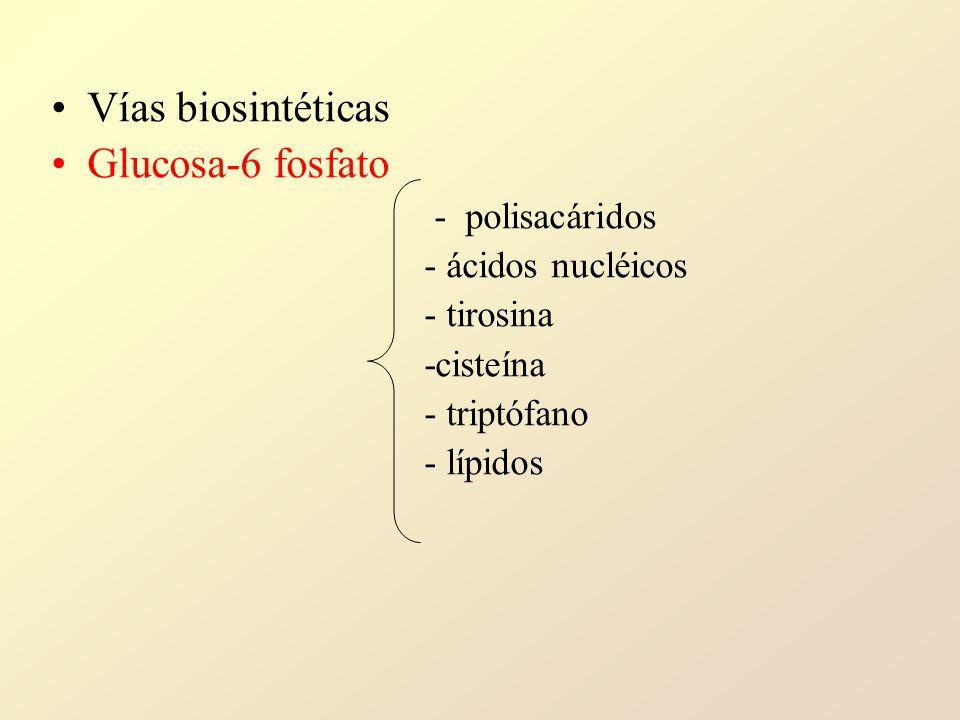 Vías biosintéticas Glucosa-6 fosfato - polisacáridos - ácidos nucléicos - tirosina -cisteína - triptófano - lípidos