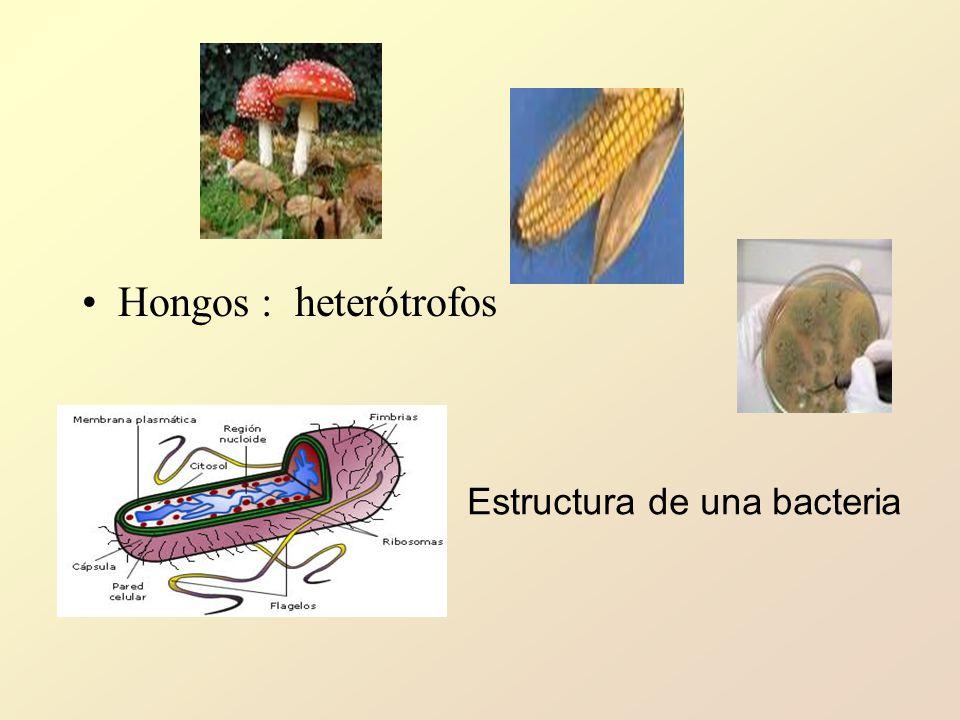 Hongos : heterótrofos Estructura de una bacteria
