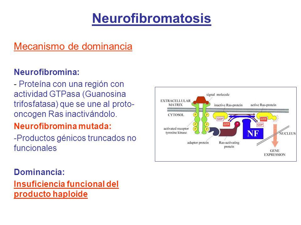 Mecanismo de dominancia Neurofibromina: - Proteína con una región con actividad GTPasa (Guanosina trifosfatasa) que se une al proto- oncogen Ras inactivándolo.