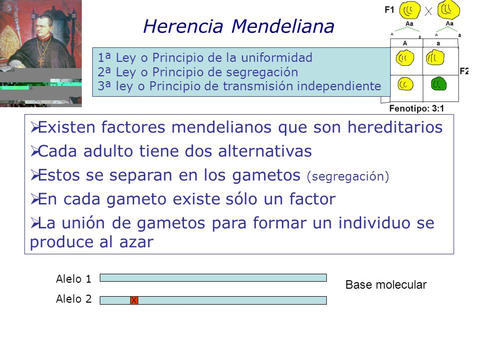 Herencia Mendeliana Existen factores mendelianos que son hereditarios Cada adulto tiene dos alternativas Estos se separan en los gametos (segregación) En cada gameto existe sólo un factor La unión de gametos para formar un individuo se produce al azar X Alelo 1 Alelo 2 1ª Ley o Principio de la uniformidad 2ª Ley o Principio de segregación 3ª ley o Principio de transmisión independiente Base molecular
