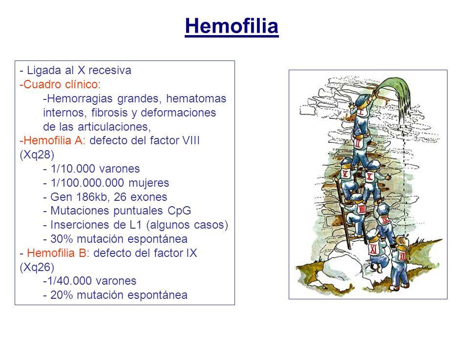 Hemofilia - Ligada al X recesiva -Cuadro clínico: -Hemorragias grandes, hematomas internos, fibrosis y deformaciones de las articulaciones, -Hemofilia A: defecto del factor VIII (Xq28) - 1/10.000 varones - 1/100.000.000 mujeres - Gen 186kb, 26 exones - Mutaciones puntuales CpG - Inserciones de L1 (algunos casos) - 30% mutación espontánea - Hemofilia B: defecto del factor IX (Xq26) -1/40.000 varones - 20% mutación espontánea