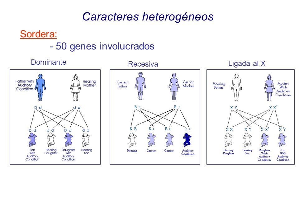 Caracteres heterogéneos Sordera: - 50 genes involucrados Dominante Recesiva Ligada al X