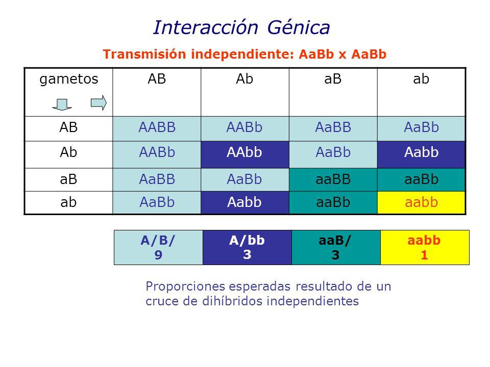 Interacción Génica gametosABAbaBab ABAABBAABbAaBBAaBb AbAABbAAbbAaBbAabb aBAaBBAaBbaaBBaaBb abAaBbAabbaaBbaabb Transmisión independiente: AaBb x AaBb A/B/ 9 A/bb 3 aaB/ 3 aabb 1 Proporciones esperadas resultado de un cruce de dihíbridos independientes