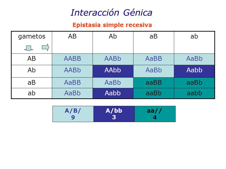 Interacción Génica gametosABAbaBab ABAABBAABbAaBBAaBb AbAABbAAbbAaBbAabb aBAaBBAaBbaaBBaaBb abAaBbAabbaaBbaabb Epistasia simple recesiva A/B/ 9 A/bb 3 aa// 4