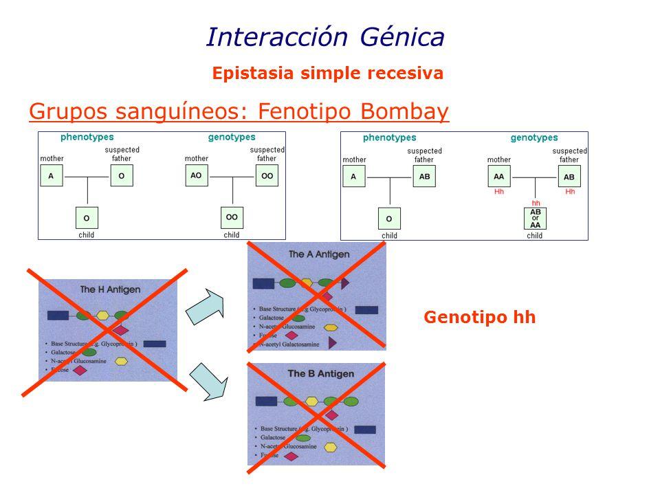 Interacción Génica Epistasia simple recesiva Grupos sanguíneos: Fenotipo Bombay Genotipo hh