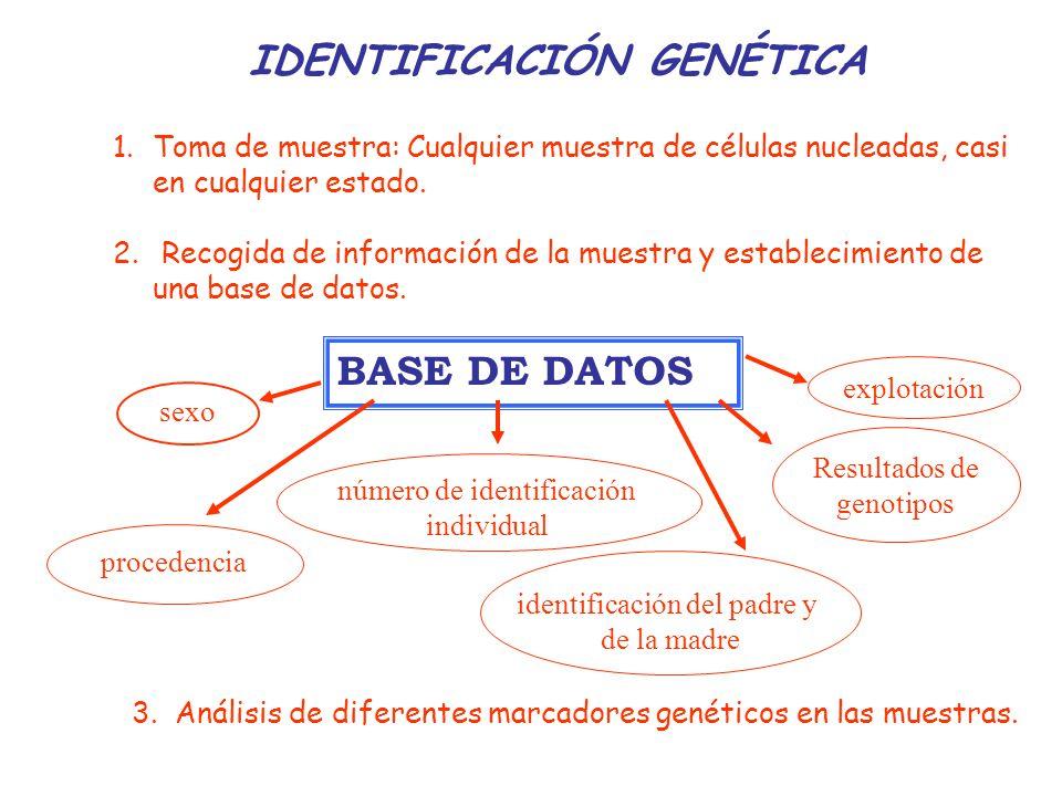 Marcadores genéticos aplicados a la identificación individual Un marcador de ADN, para ser utilizable en identificación genética, y por tanto poder ser usado como sistema de trazabilidad, necesita reunir una serie de características: Que sea muy polimórfico, Que esté distribuido por todo el genoma.