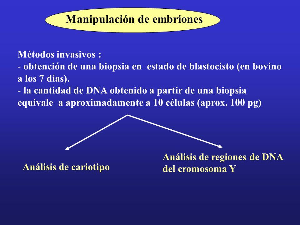 Manipulación de embriones Métodos invasivos : - obtención de una biopsia en estado de blastocisto (en bovino a los 7 días).