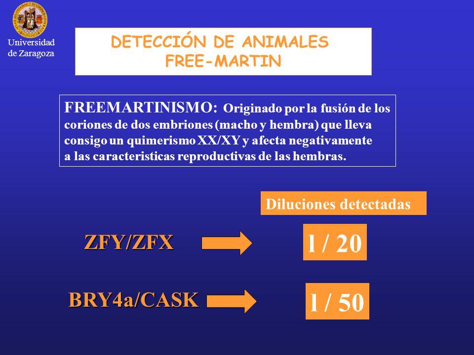 DETECCIÓN DE ANIMALES FREE-MARTIN FREEMARTINISMO: Originado por la fusión de los coriones de dos embriones (macho y hembra) que lleva consigo un quimerismo XX/XY y afecta negativamente a las caracteristicas reproductivas de las hembras.ZFY/ZFX BRY4a/CASK Diluciones detectadas l / 20 l / 50 Universidad de Zaragoza