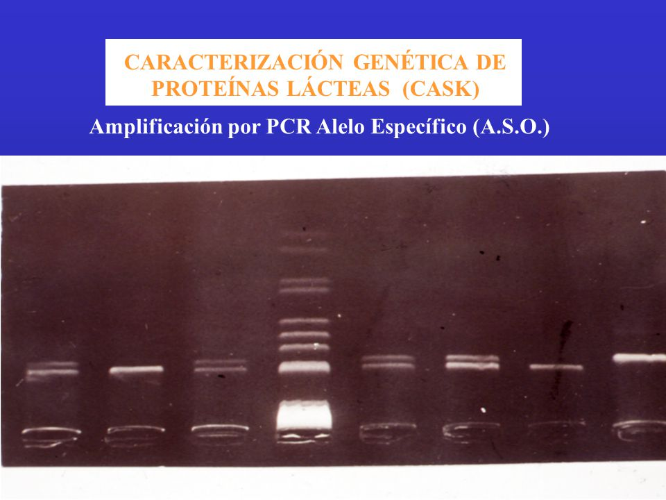 CARACTERIZACIÓN GENÉTICA DE PROTEÍNAS LÁCTEAS (CASK) Amplificación por PCR Alelo Específico (A.S.O.)