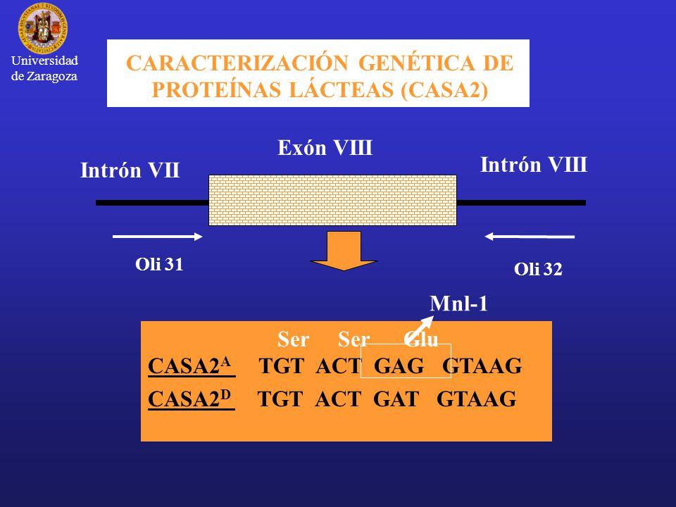 Universidad de Zaragoza CARACTERIZACIÓN GENÉTICA DE PROTEÍNAS LÁCTEAS (CASA2) Exón VIII Intrón VIII Intrón VII Oli 31 Oli 32 Ser Ser Glu CASA2 A TGT ACT GAG GTAAG CASA2 D TGT ACT GAT GTAAG Mnl-1