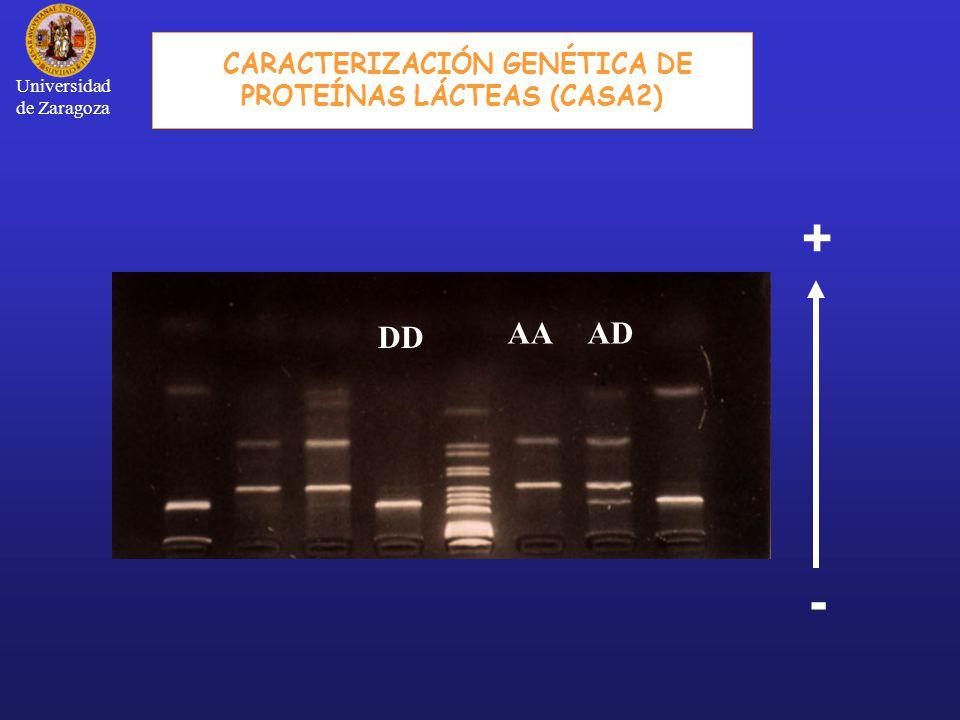 - + DD AAAD CARACTERIZACIÓN GENÉTICA DE PROTEÍNAS LÁCTEAS (CASA2) Universidad de Zaragoza