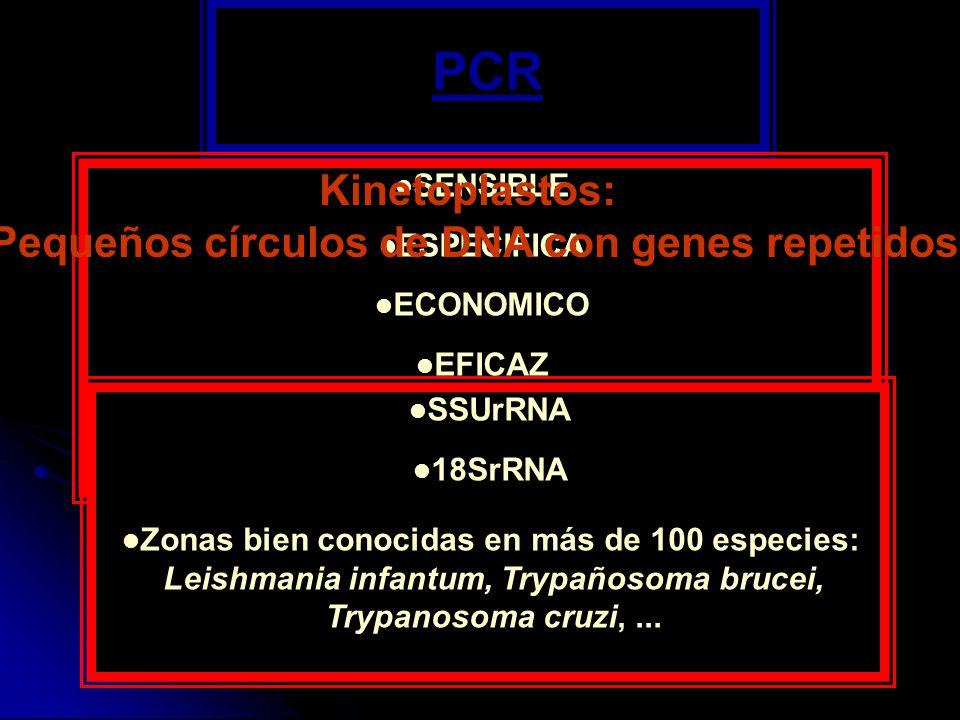 PCR SENSIBLE ESPECIFICA ECONOMICO EFICAZ Cebadores - Zona del genoma del parásito de varias copias Kinetoplastos: Pequeños círculos de DNA con genes r