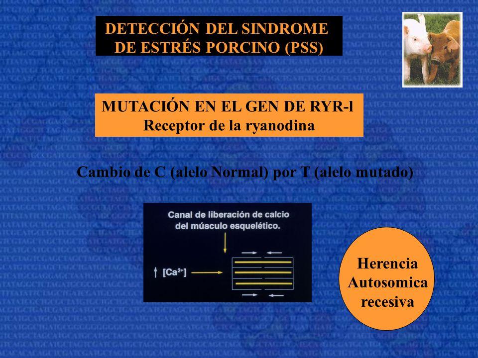 DETECCIÓN DEL SINDROME DE ESTRÉS PORCINO (PSS) MUTACIÓN EN EL GEN DE RYR-l Receptor de la ryanodina Cambio de C (alelo Normal) por T (alelo mutado) He
