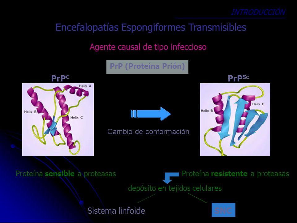 Encefalopatías Espongiformes Transmisibles Agente causal de tipo infeccioso PrP (Proteína Prión) PrP C PrP Sc Cambio de conformación Proteína sensible