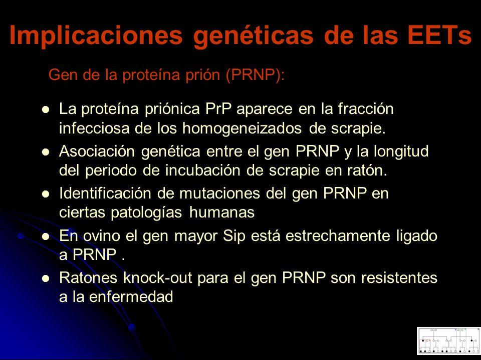 Implicaciones genéticas de las EETs La proteína priónica PrP aparece en la fracción infecciosa de los homogeneizados de scrapie. Asociación genética e