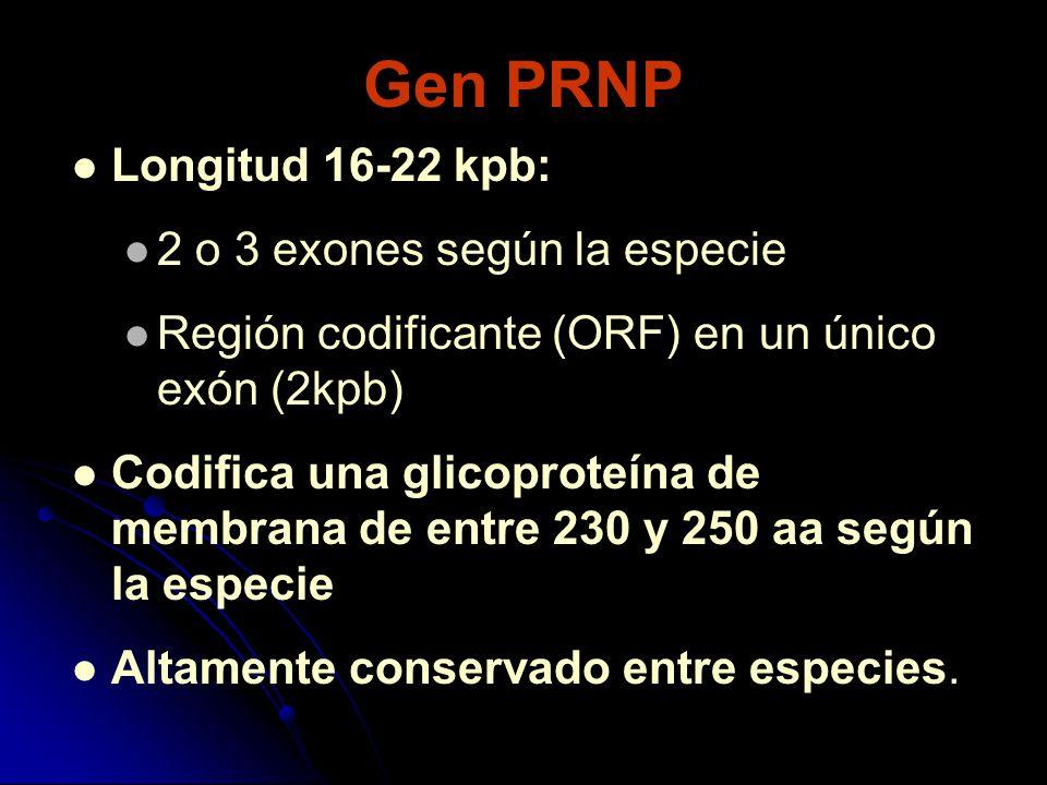 Gen PRNP Longitud 16-22 kpb: 2 o 3 exones según la especie Región codificante (ORF) en un único exón (2kpb) Codifica una glicoproteína de membrana de