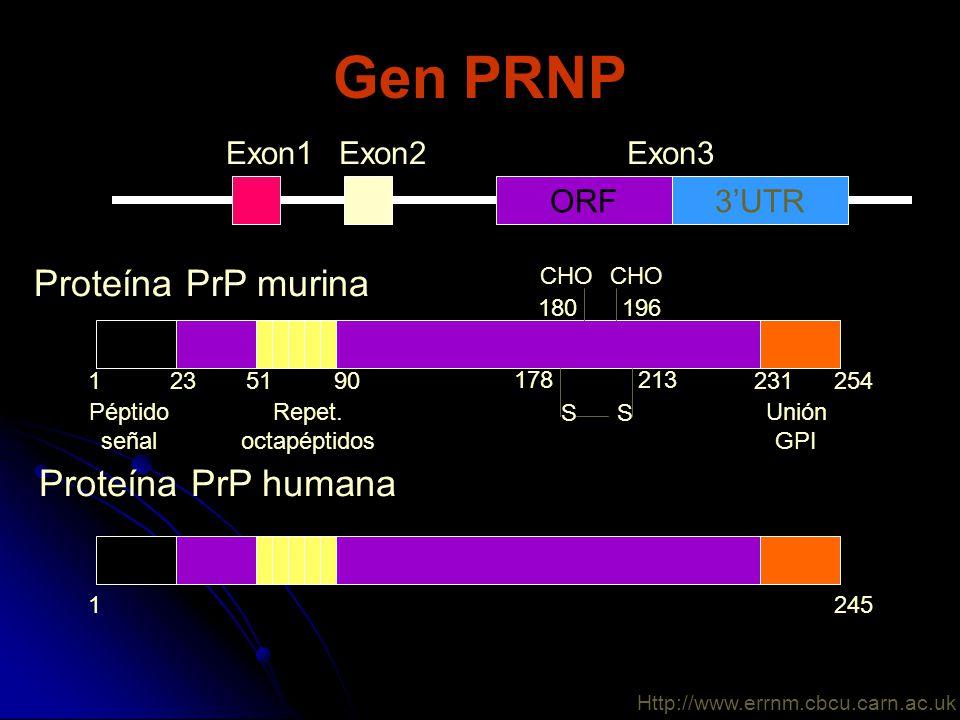 Gen PRNP ORF3UTR Exon1Exon2Exon3 Proteína PrP murina Péptido señal Repet. octapéptidos 1235190231254 213178 196180 SS Unión GPI CHO Proteína PrP human