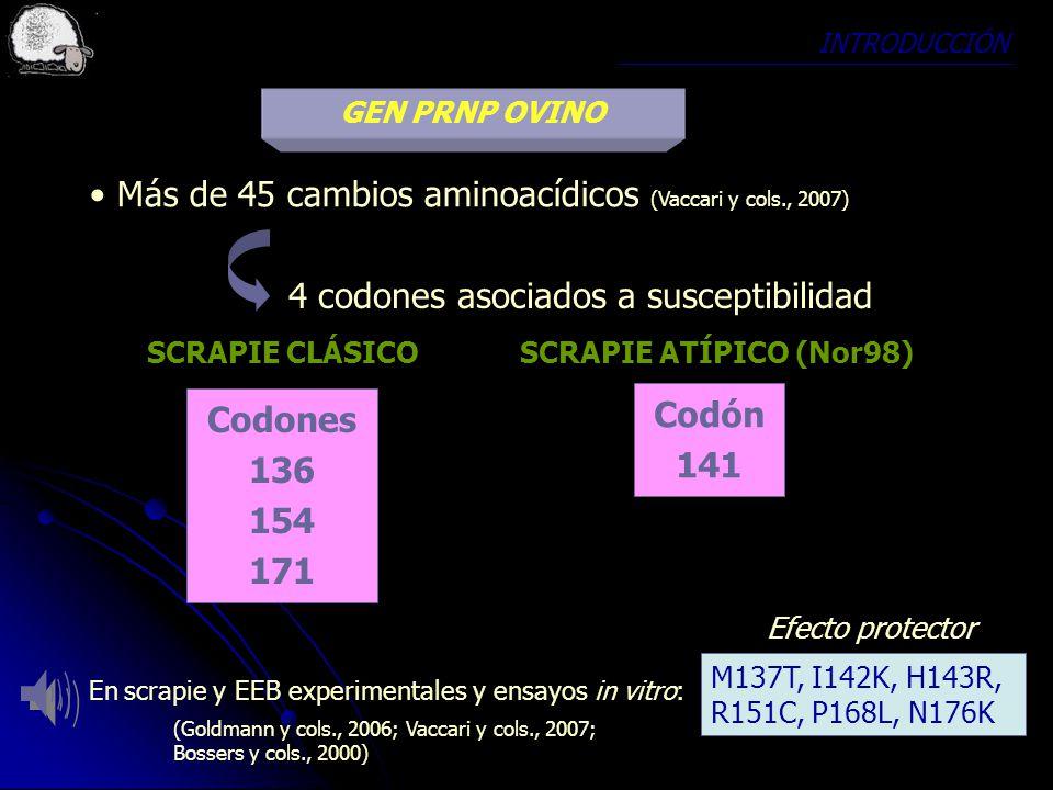 INTRODUCCIÓN GEN PRNP OVINO Más de 45 cambios aminoacídicos (Vaccari y cols., 2007) Codones 136 154 171 SCRAPIE CLÁSICO Codón 141 SCRAPIE ATÍPICO (Nor