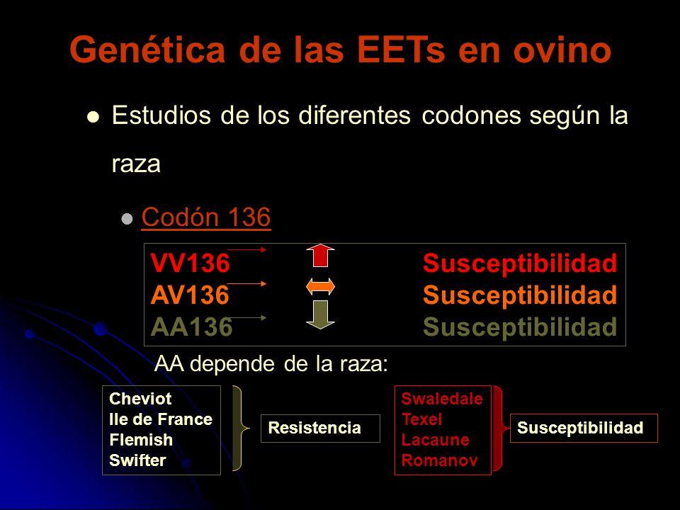 Estudios de los diferentes codones según la raza Codón 136 VV136Susceptibilidad AV136Susceptibilidad AA136Susceptibilidad AA depende de la raza: Chevi