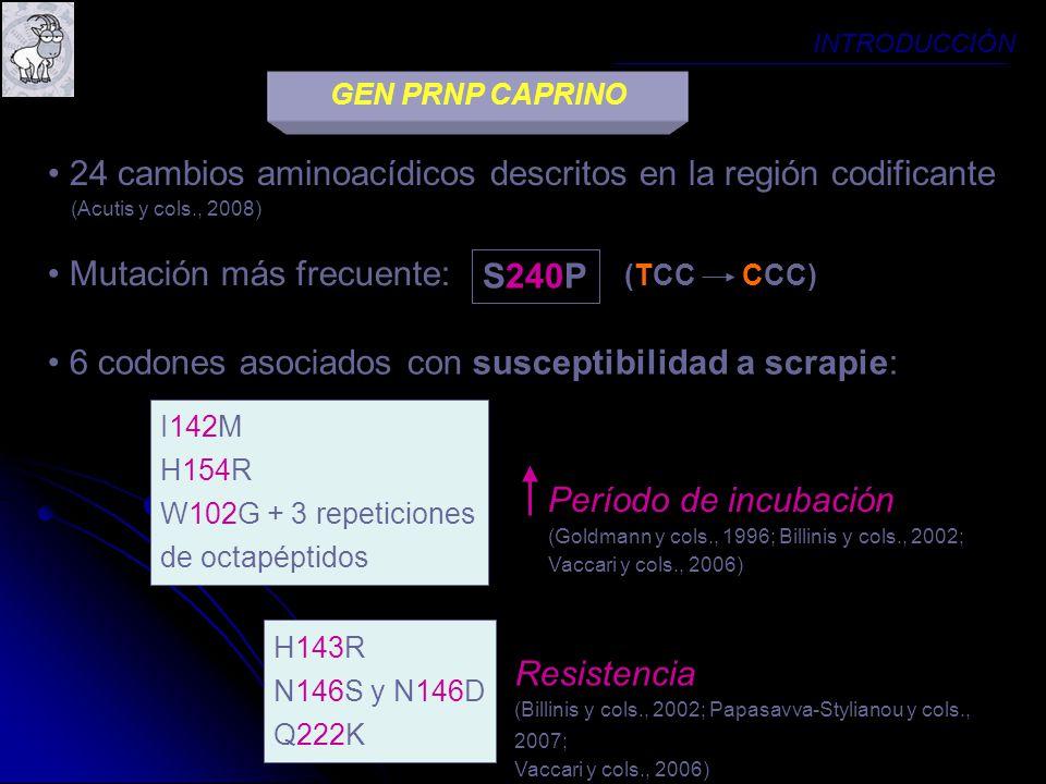 GEN PRNP CAPRINO INTRODUCCIÓN 24 cambios aminoacídicos descritos en la región codificante (Acutis y cols., 2008) 6 codones asociados con susceptibilid