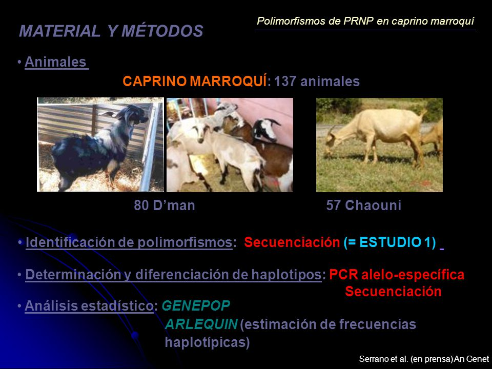CAPRINO MARROQUÍ: 137 animales MATERIAL Y MÉTODOS Polimorfismos de PRNP en caprino marroquí 80 Dman 57 Chaouni Animales Identificación de polimorfismo