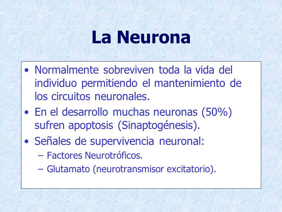 Inducción De Apoptosis in vitro Falta de factores neurotróficos: –Desarrollo.