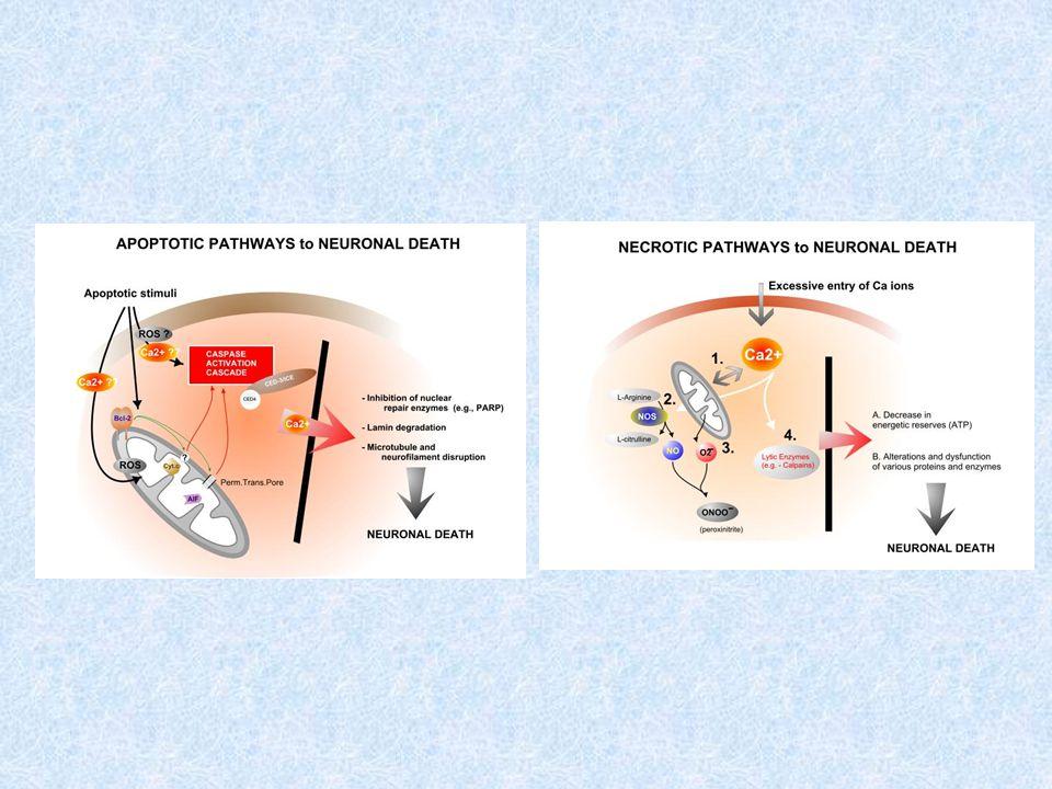 SOD* interacciona con H2O2 o O- daño oxidativo en las membranas y alteraciones en las funciones mitocondriales vulnerables a la apotposis excitotóxica.