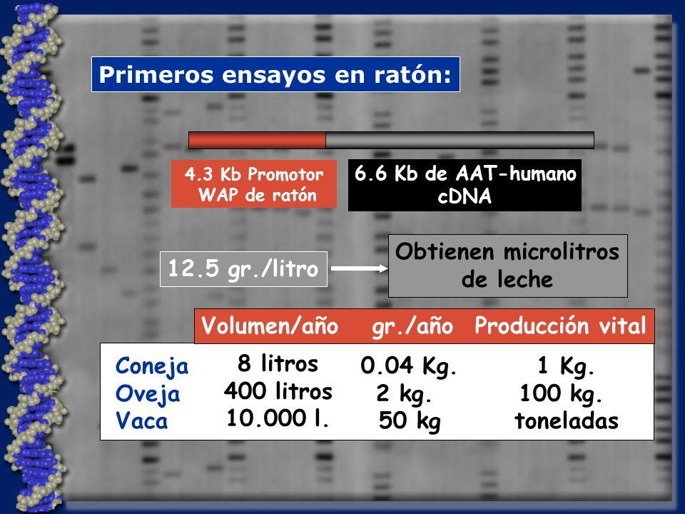 Primeros ensayos en ratón: 4.3 Kb Promotor WAP de ratón 6.6 Kb de AAT-humano cDNA 12.5 gr./litro Obtienen microlitros de leche Volumen/año gr./año Producción vital 8 litros 400 litros 10.000 l.