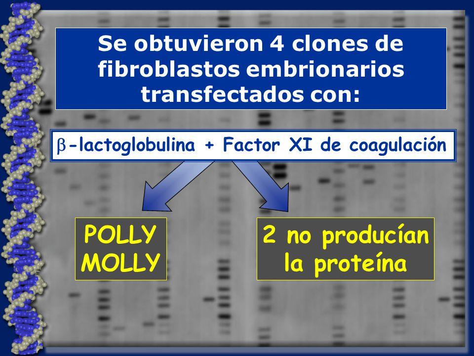 Se obtuvieron 4 clones de fibroblastos embrionarios transfectados con: POLLY MOLLY 2 no producían la proteína -lactoglobulina + Factor XI de coagulación