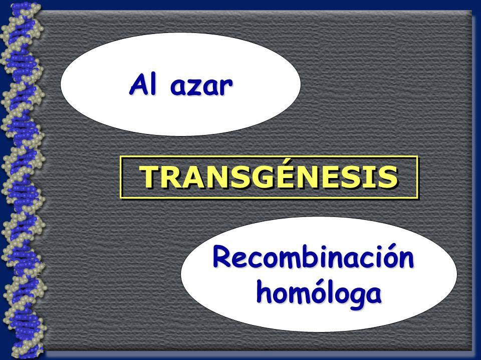 Recombinaciónhomóloga Al azar TRANSGÉNESIS