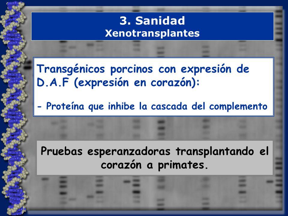 3. Sanidad Xenotransplantes Transgénicos porcinos con expresión de D.A.F (expresión en corazón): - Proteína que inhibe la cascada del complemento Prue