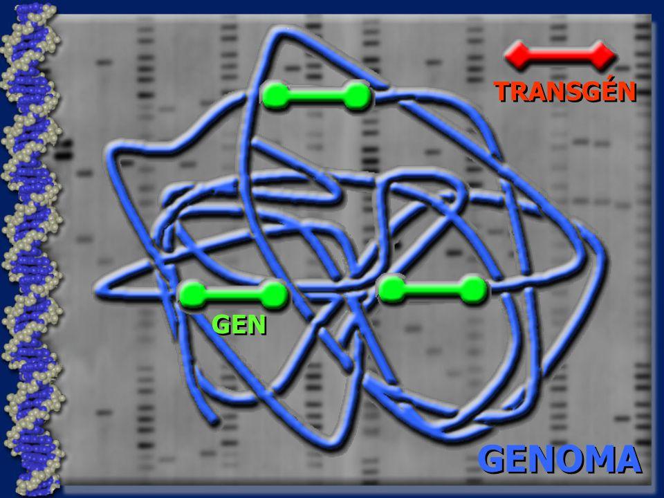 GENOMA GEN TRANSGÉN